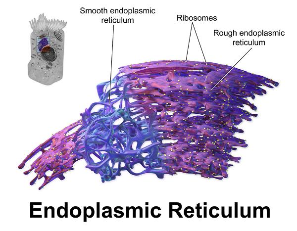 smooth and rough endoplasmic reticulumRough Endoplasmic Reticulum
