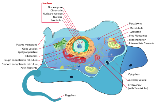 cell structure work Cell review worksheet key part a:  what component of the cell membrane causes it to have a fluid consistency  how do these organelles work together.