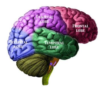Occipital Lobe Definition Location amp Function Study com