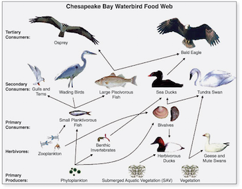 What is a Food Web? - Definition, Lesson & Quiz