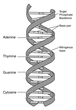 adenine and thymine relationship tips