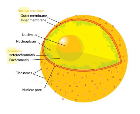 nucleus and nucleolus relationship quiz