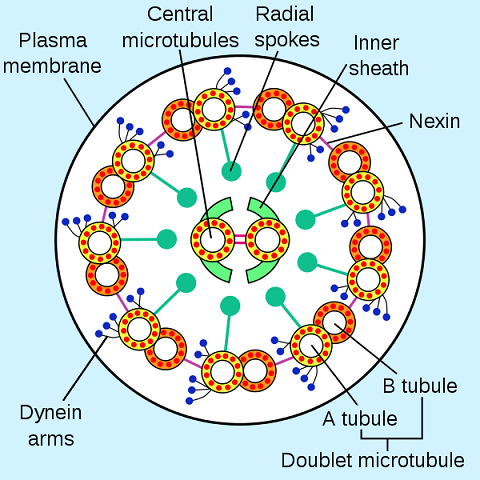 Flagellum cross-section - 157.7KB