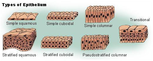 epithelial tissue definition - photo #26