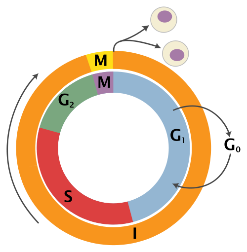understanding the cell cycle and its functional decisions This implies that the heterotrimeric sensor complex may be present throughout the cell cycle and would recognize damaged dna and activate the checkpoint similar heterotrimeric complexes have been identified in s pombe and humans, indicating a general functional and structural conservation in the sensor proteins.
