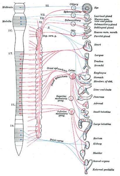 Sympathetic Nervous System Definition Function Amp Effects