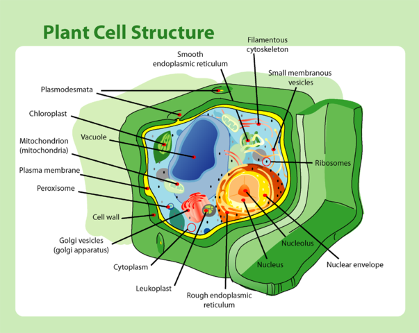 Plant Cell Wall: Function, Structure & Composition - Video ...
