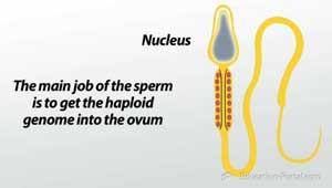 Sperm cells nucleus