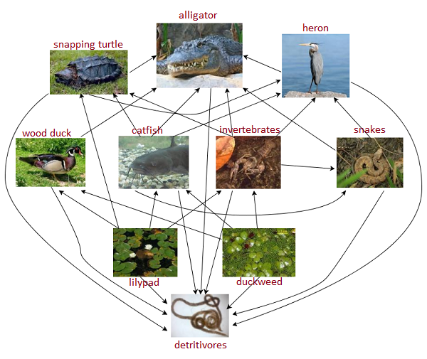 everglades food chain In ecology, a food chain is a series of organisms that eat one another so that   that means decomposers are indeed present, even if they don't get much air.