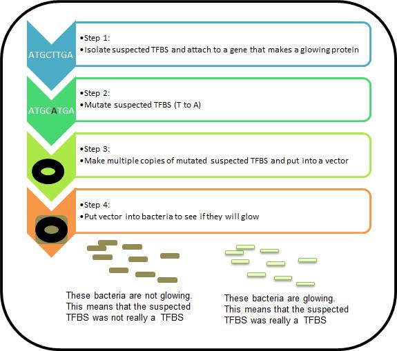 Transcription Factor Binding Site: Prediction & Concept