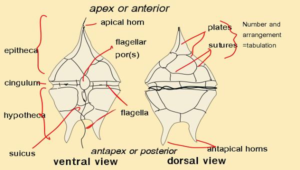 Protista besides Dinoflagellates Characteristics Ex les Classification moreover Euglena Fig moreover Chromista besides 2554209list. on diatom diagram labeled