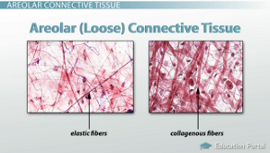 Adipose Tissue And Loose Connective Tissue Functions And