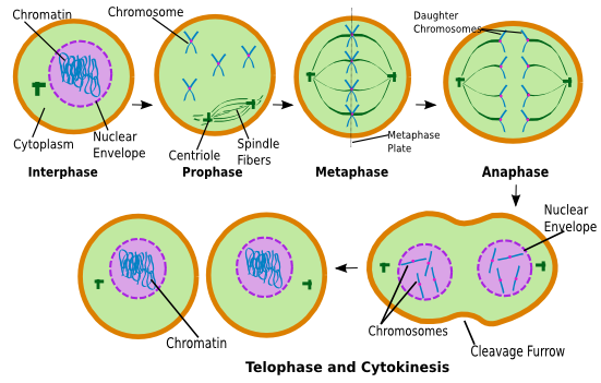 an introduction to the process of mitosis cell division for replication Actively dividing eukaryote cells pass through a series of stages known  the  replicated chromosomes are attached to a 'mitotic apparatus' that aligns them  and.