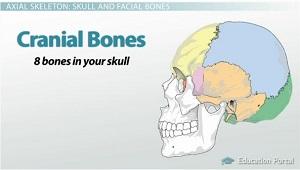 similiar cranial bones and their functions keywords, Cephalic Vein