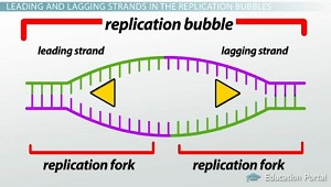 DNA Replication: Review of Enzymes, Replication Bubbles ...