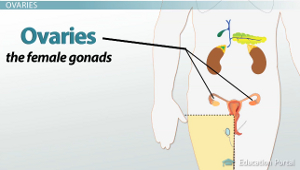 Hormones of the Testes and Ovaries: Functions & Anatomical ...