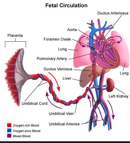 Fetal Blood: Circulation Diagram, Lesson & Quiz
