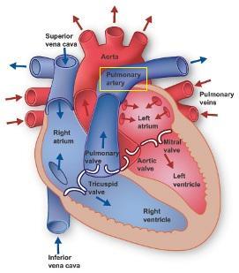 Pulmonary Circuit: Definition, Pathway & Quiz   Study.com