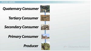 Animal Food Chain Trophic Levels