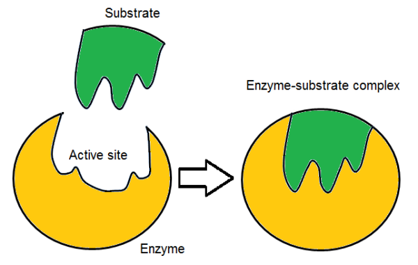 Enzyme Substrate Complex Diagram