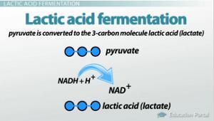 Lactic Acid & Alcoholic Fermentation: Comparison, Contrast ...