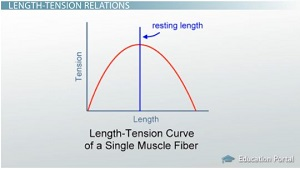 active tension or force in a skeletal fiber results from Request pdf on researchgate | stiffness and force in activated frog skeletal muscle fibers | single fibers, isolated intact from frog skeletal muscles, were held firmly very near to each end by .