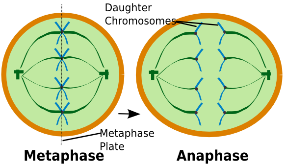 Stages of mitosis and meiosis animation picture