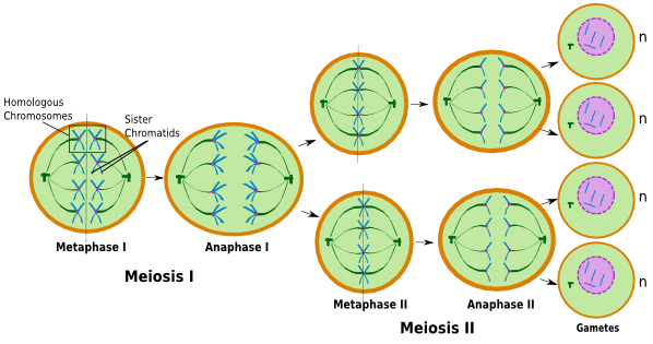 an analysis of the process of meiosis or production of sex cells Meiosis produces haploid cells,  physical exchange of chromosomal regions through a process called crossing over  a sex chromosome trisomy.