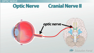 How Receptors of the Eye Conduct Information via the Optic ...