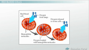 structure and functions of erythrocytes Blood consists of cells floating in plasma most of the cells are red blood cells a  much smaller number are white blood cells there are also fragments formed.