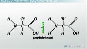 trypsin enzyme coursework