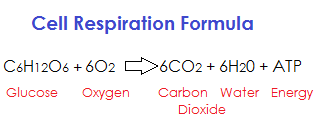 aerobic respiration definition steps products