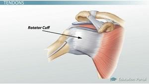 Tendons in the shoulder diagram