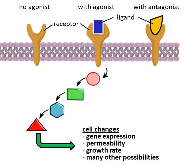 Serotonin psychology