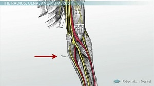 bone funny ulnar anatomy arm bones nerve bump hit functions hand study actually
