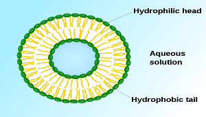 Vesicle animal cell function - photo#22