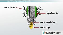 Plant stem epidermis - photo#20