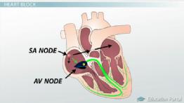 Three-Chambered Heart: Definition, Anatomy & Quiz   Study.com