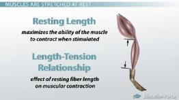 length tension relationship skeletal and cardiac muscle similarities