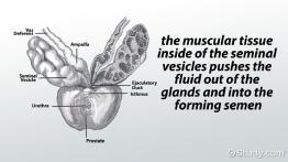 Secondary Spermatocytes: Definition & Concept   Study.com